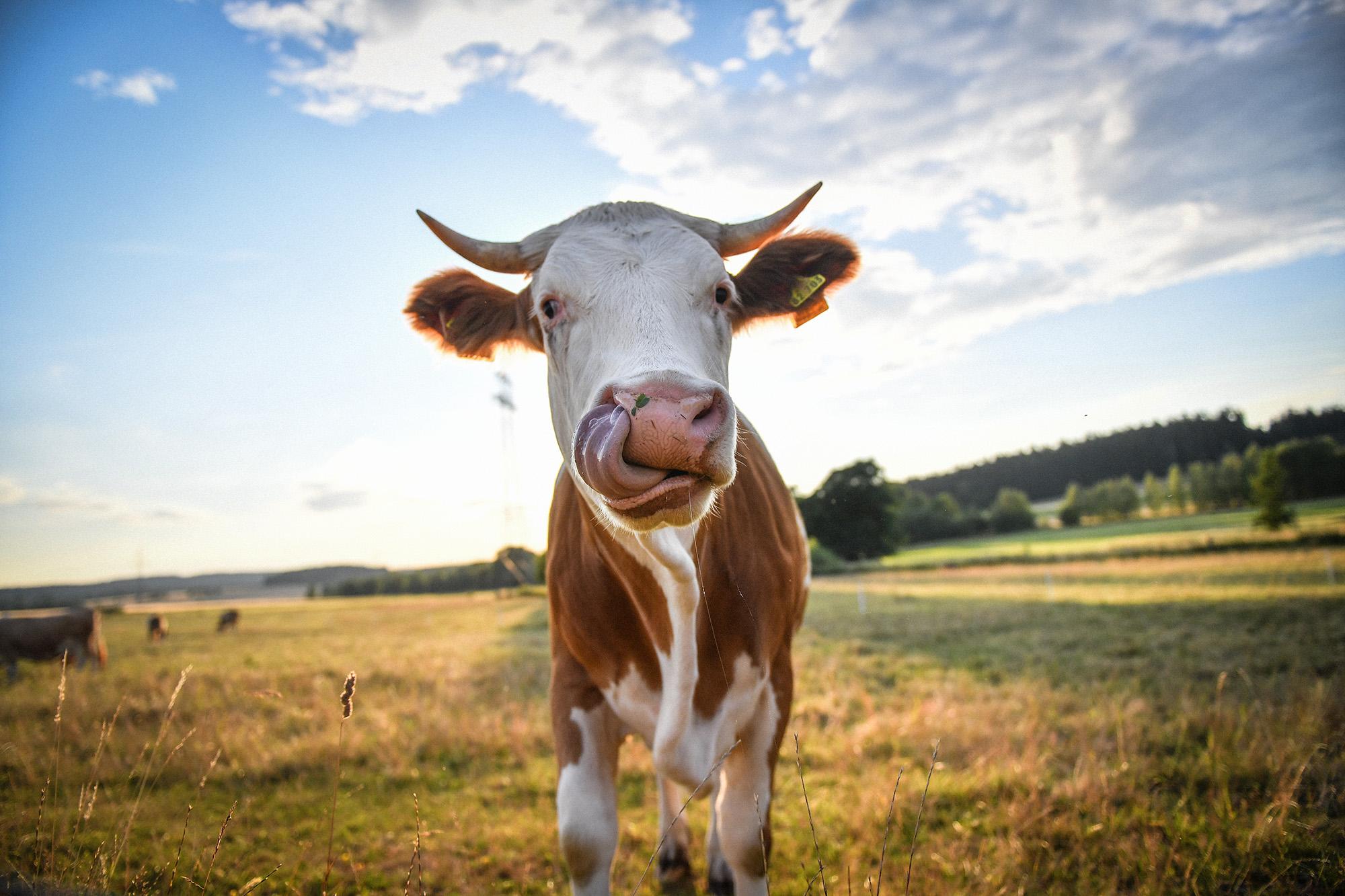 Kühe zum Anfasen